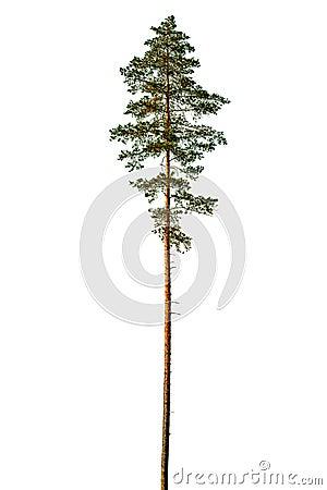 Free Tall Pine Tree. Stock Photos - 125876563