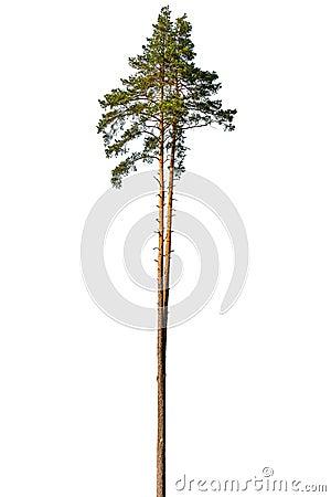 Free Tall Pine Tree. Stock Photography - 125904742