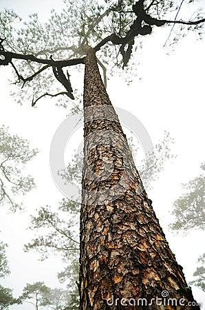 Tall Pine Tree