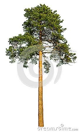 Free Tall Pine Tree. Stock Photos - 62990903