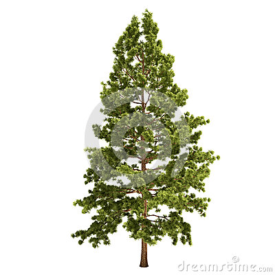 Free Tall Pine Tree Isolated Stock Images - 34045054