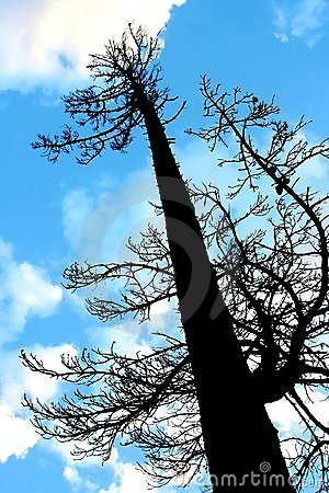 Free Tall Pine Tree Silhouette Royalty Free Stock Photography - 2903127