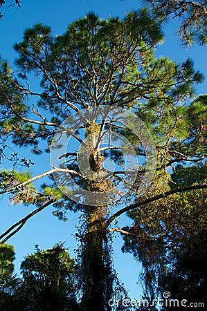 Tall pine tree in sunshine