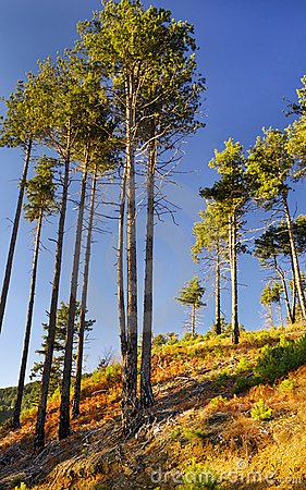 Free Tall Pine Trees Stock Photos - 7572133