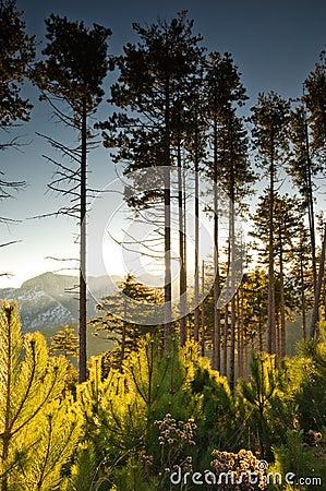 Free Tall Pine Trees At Dawn Royalty Free Stock Photos - 7531668