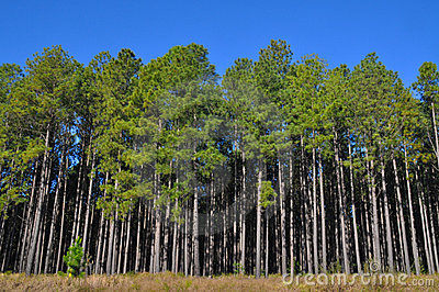 Tall pine trees at the edge of a large plantation royalty Pine tree timber