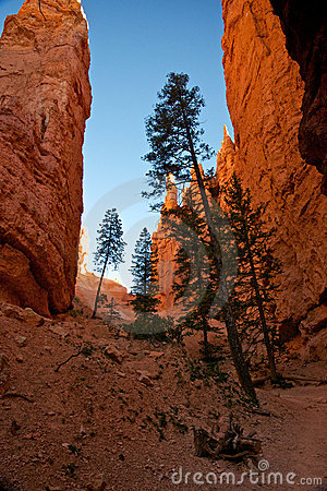 Free Tall Pine Trees In A Deep Canyon Stock Photo - 20858630