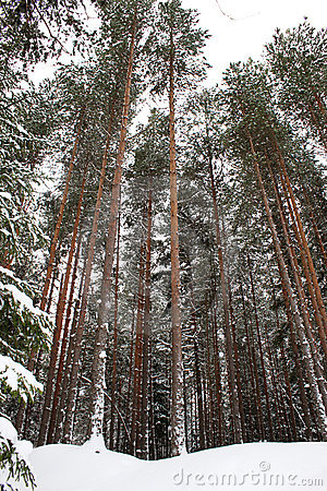 Tall pine trees in winter