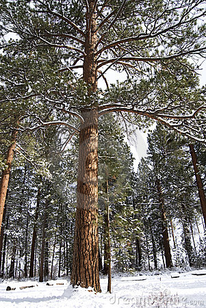 Tall Ponderosa Pine in the Snow