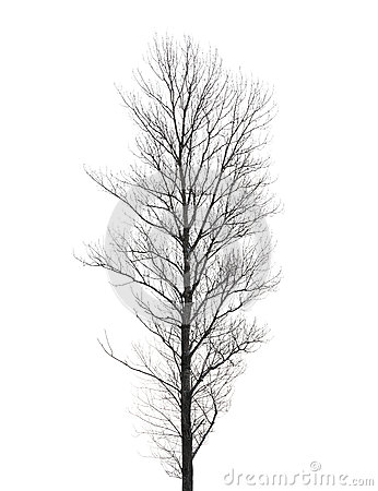 Tall poplar tree isolated on white
