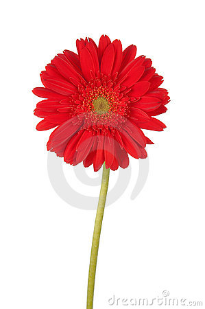 Free Tall Red Gerber Daisy Stock Images - 2629724