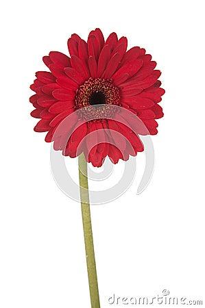 Free Tall Red Gerber Daisy Stock Photos - 2629733