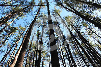 Tall,sturdy pines in the dense forest