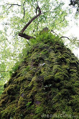 Tall tree with moss