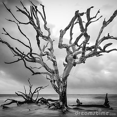 Free Tall Tree On Driftwood Beach Stock Images - 94462804