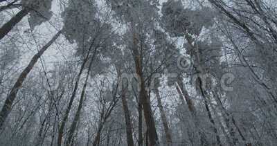 Tall Trees, bevroren stock footage
