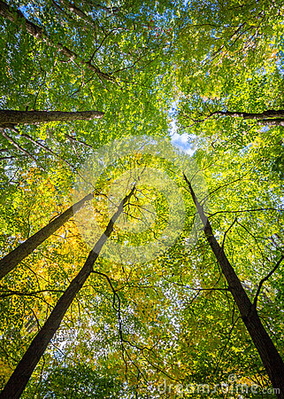 Free Tall Trees Of An Enchanting Forest Canopy Royalty Free Stock Image - 56424926