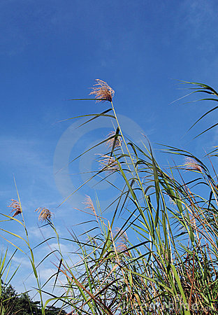 Tall tropical reeds and blue sky landscape
