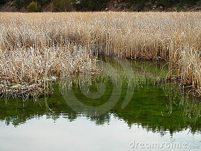 Tall weeds reflecting in the river