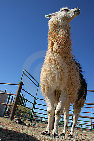 Tall white and brown llama