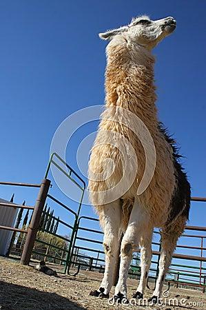 Tall white and brown llama