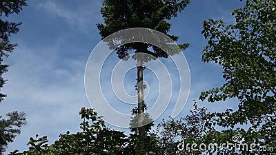 Tallenbaum in ländlicher Umgebung stock footage