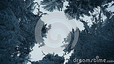 Tallgrusträd täckta med snö i frostigt vinterlandskap En vy på himlen i snöskog arkivfilmer