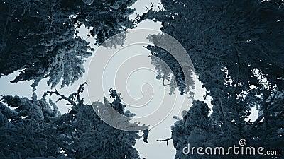 Tallgrusträd täckta med snö i frostigt vinterlandskap En vy på himlen i snöskog lager videofilmer
