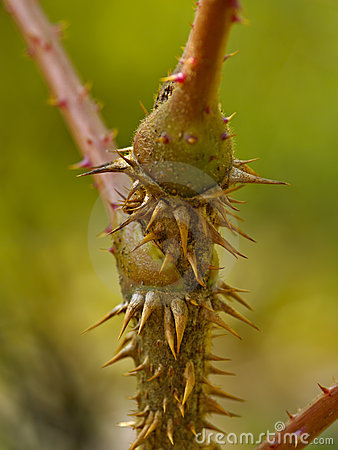 Tallo de un arbusto espinoso