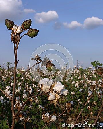 Tallo del algodón en campo