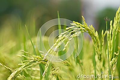 Tallo del arroz