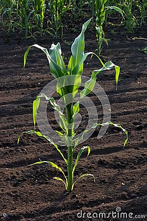Tallo del maíz