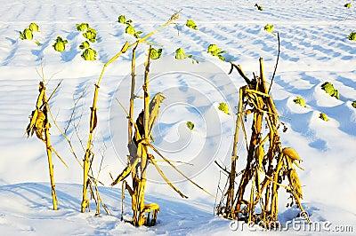 Tallo y col del maíz