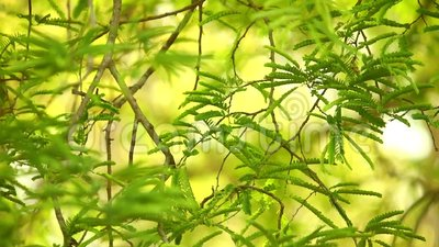 Tamarinden-Baum-Laub-tropisches Immergrün stock footage