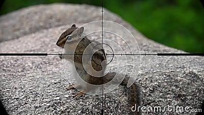 Tamias de la ardilla listada visto en alcance del rifle del arma Caza de la fauna Animales en peligro, vulnerables, y amenazantes metrajes