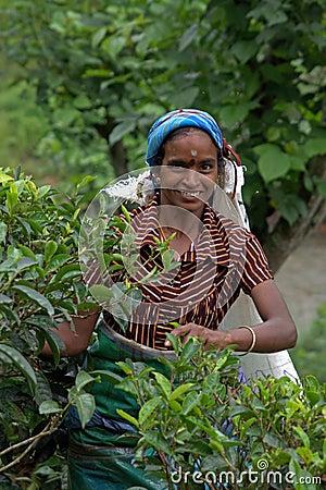 Tamil Tea picker in Sri Lanka Editorial Stock Image