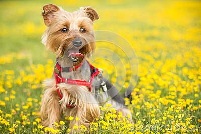 Tan And Black Yorkshire Terrier Free Public Domain Cc0 Image