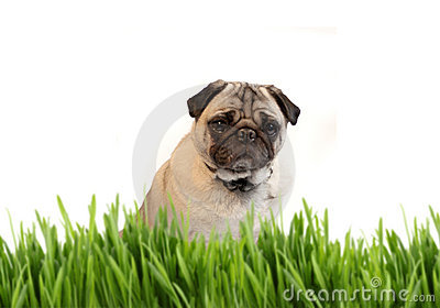 Tan colored pug behind grass