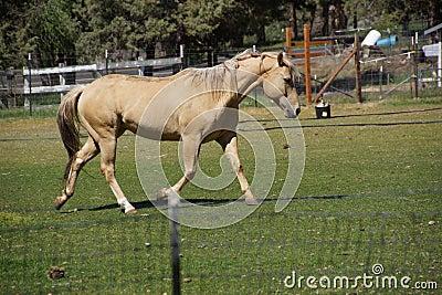 Tan palomino horse grazing