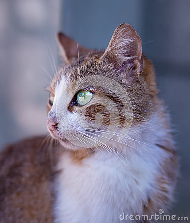 Tan And White Short Fur Cat On Close Up Photography Free Public Domain Cc0 Image