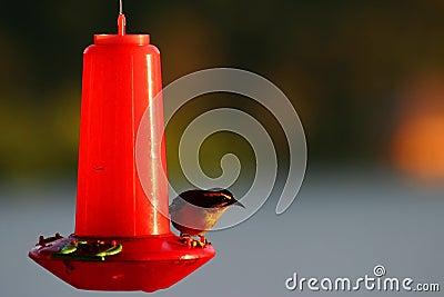 Tanager Bird on a Feeder