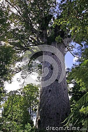 Tane Mahuta - Large Kauri Tree