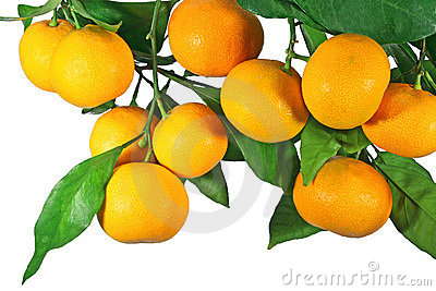 Tangerine fruit on a tree