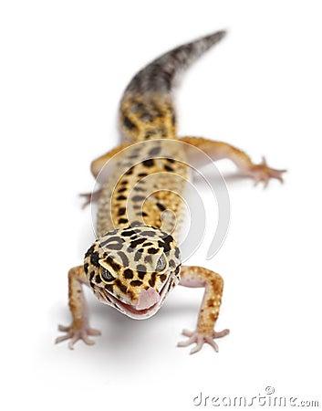 Tangerine Leopard gecko, Eublepharis macularius