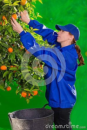 Tangerine orange farmer collecting woman