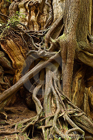 Free Tangle Of Roots Royalty Free Stock Image - 9682656