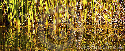 Tangle of Reeds and Water Reflections