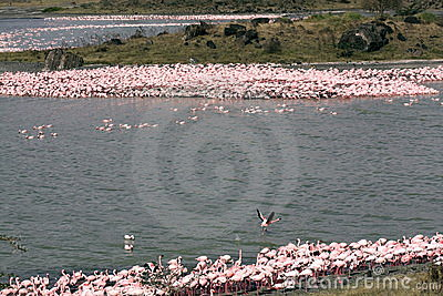Tanzanian Flamingos