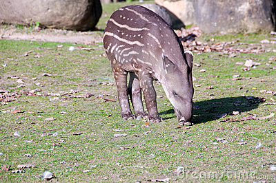 Tapir baby