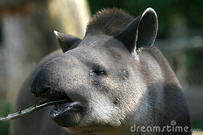 Tapir esting